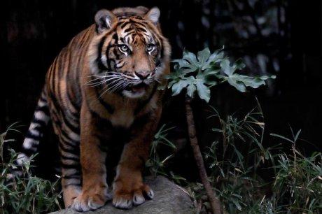 Blog Sumatran Tiger